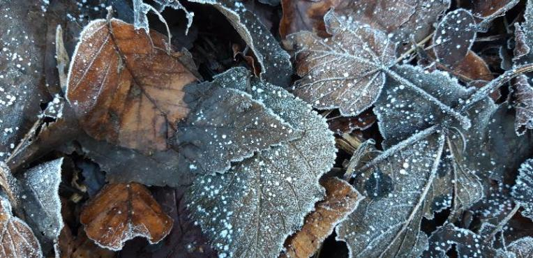 Frosted leaves on the ground, sprinkling of snow